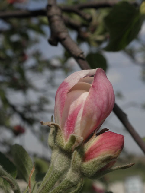 Apple blossoms just waiting to pop at Mulberry Lane Farm!