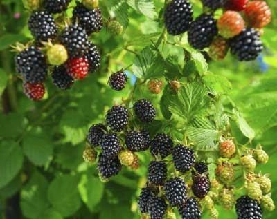 U Pick Blackberries