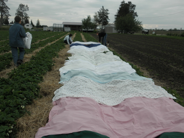 Laying out the sheets in the garden..