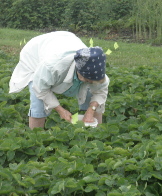 An 87 year old strawberry picker!