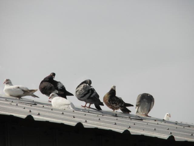 Matthew's beautiful pigeons.