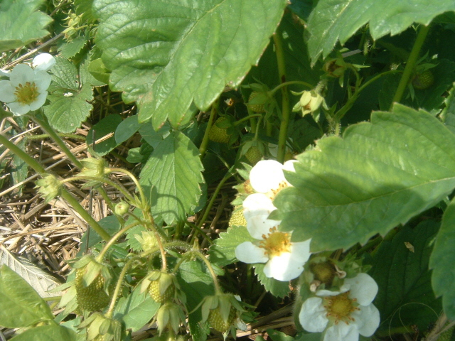 A strawberry plant with green strawberry at our U Pick Strawberries patch