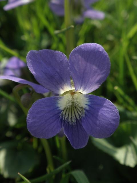 Violet flower.